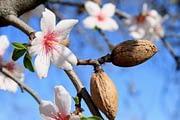 Migdolų aliejus – saldi palaima mūsų odai