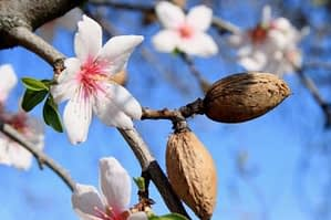 almond-blossom-w650