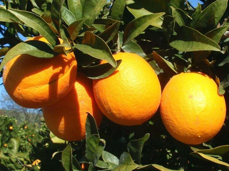 apelsinų eterinis aliejus